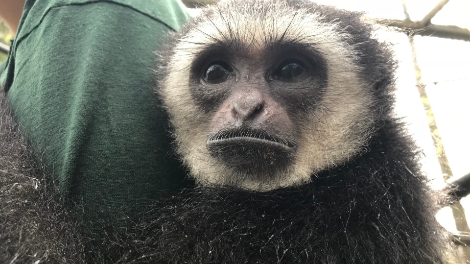 Agnes the gibbon monkey is back in her summer habitat for the first time since she was stolen in a break-in last May. (CTV News/Beatrice Vaisman)