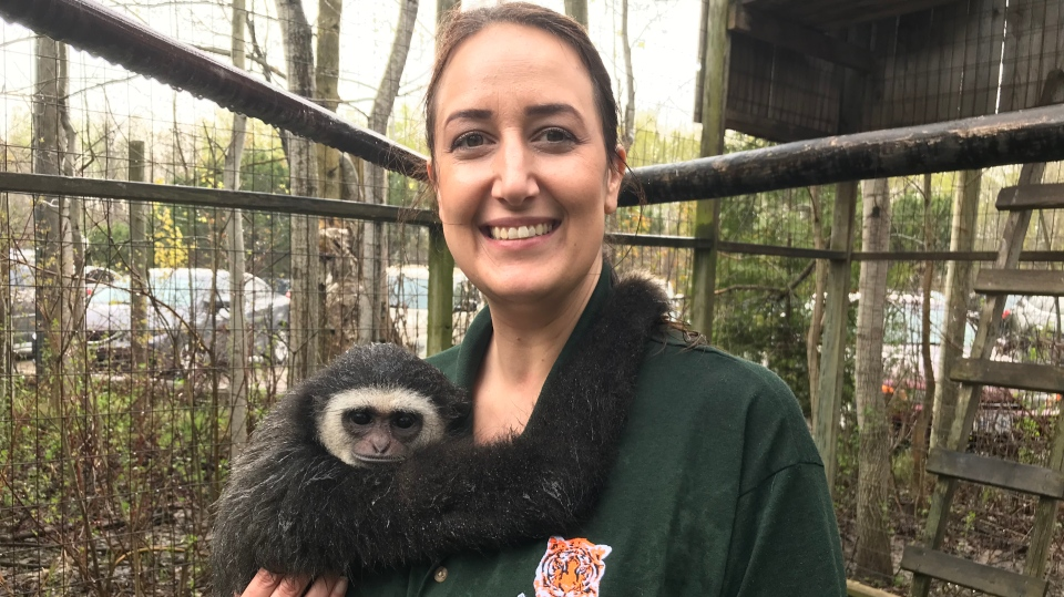 Agnes the gibbon monkey cuddles with Michael Persi, the manager at the Elmvale Jungle Zoo on May 19, 2019. (CTV News/Beatrice Vaisman)