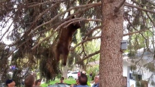 Bear safely caught as it falls from tree
