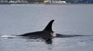 Researchers worried about B.C. killer whales
