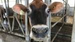 A dairy cow checks out the camera. She survived the barn fire that broke out on Monday. (Dan Lauckner / CTV Kitchener)