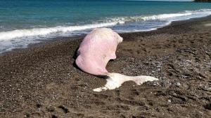 Dead sperm whale