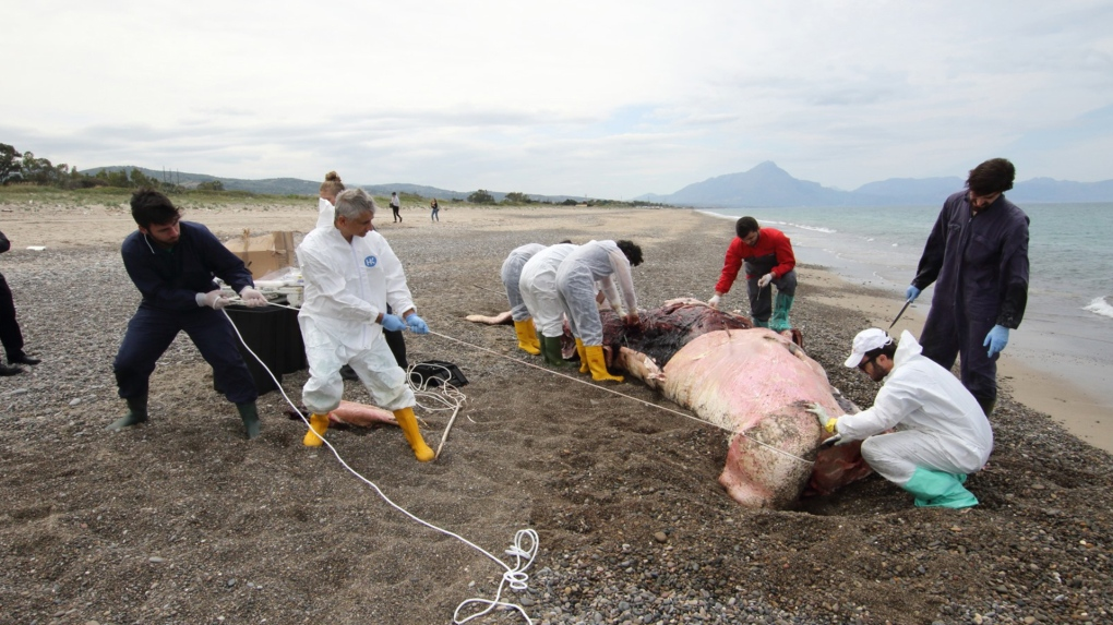 Dead sperm whale with stomach full of plastic washes up in Sicily