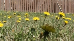 Why some residents don't whack their weeds