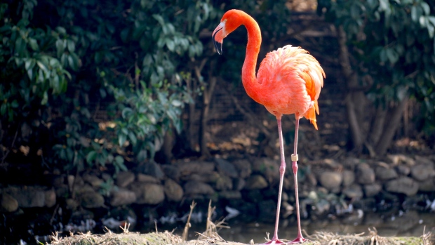 Illinois zoo euthanizes flamingo hit by rock thrown by child