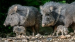 This picture taken on May 8, 2019, shows two newly born Chacoan peccaries in their enclosure at the Prague zoo, Czech Republic. Prague's zoo says two Chacoan peccaries have been born in the park in May for the first time, a welcome step in efforts to save a species that was once considered long extinct. (Petr Hamernik/Zoo Praha via AP)