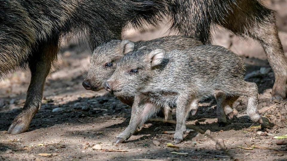 This picture taken on May 8, 2019, shows two newly born Chacoan peccaries in their enclosure at the Prague zoo, Czech Republic. (Petr Hamernik/Zoo Praha via AP)