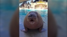 Marineland in Niagara Falls, Ont. announced the death of Apollo the walrus on Tuesday, confirming the 18-year-old animal died of a heart attack in late April. (Marineland)