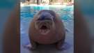 Marineland says walrus Apollo had heart attack