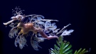 A sea dragon swims at the Birch Aquarium at the Scripps Institution of Oceanography at the University of California San Diego in San Diego. (AP Photo/Gregory Bull)