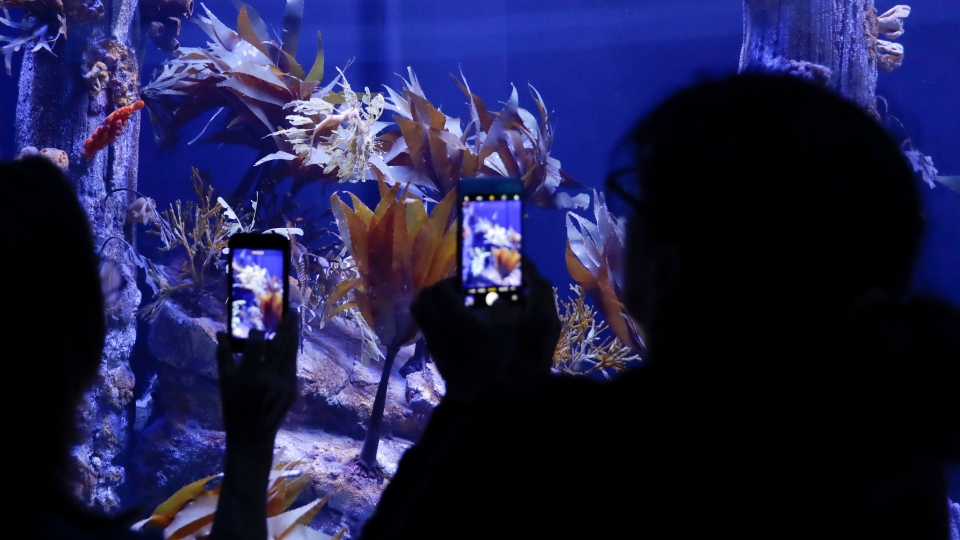 Visitors record the surreal sea dragons on display at the Birch Aquarium at the Scripps Institution of Oceanography at the University of California San Diego. (AP Photo/Gregory Bull)