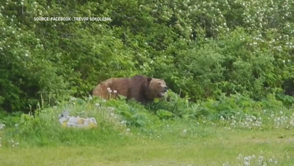 Still frame of a video posted online Tuesday showing a grizzly bear near Campbell River. (Trevor Sokoloski/Facebook)