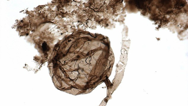 oldest fungi