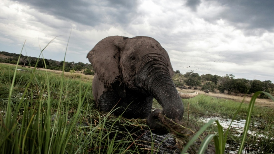 Botswana has the largest elephant population in Africa. (AFP)