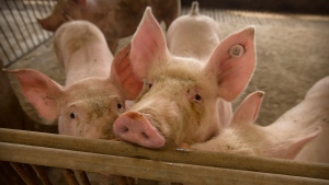 In this May 8, 2019, photo, pigs stand in a barn at a pig farm in Jiangjiaqiao village in northern China's Hebei province. (AP Photo/Mark Schiefelbein)