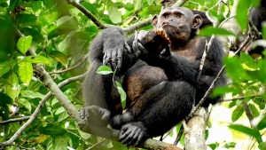 In this photo provided by the Max Planck Institute a wild chimpanzee eats a tortoise, whose hard shell was cracked against tree trunks before scooping out the meat at the Loango National Park on the Atlantic coast of Gabon, May 20, 2019. (Erwan Theleste/Max Planck Institute via AP)