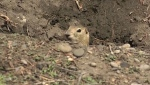 These rodents will ruin your yard