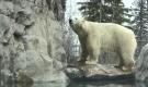 Polar bear at Cochrane Polar Bear Habitat (Lydia Chubak/CTV Northern Ontario)