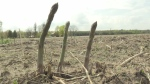 Fields to Forks: Asparagus season gets late start