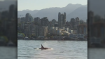 A passenger captured video of an orca pod swimming in the path of a SeaBus in Burrard Inlet Thursday morning. (Gwyn Jones)