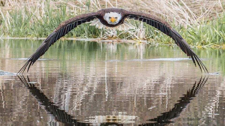 Steve Biro's perfectly timed shot of a bald eagle diving over a pond is garnering him international attention.(Source: Steve Biro)