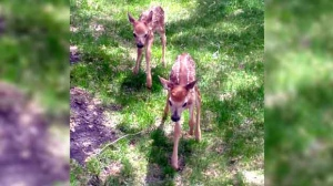 These two fawns were only a couple hours old. Photo by Terry Musick.