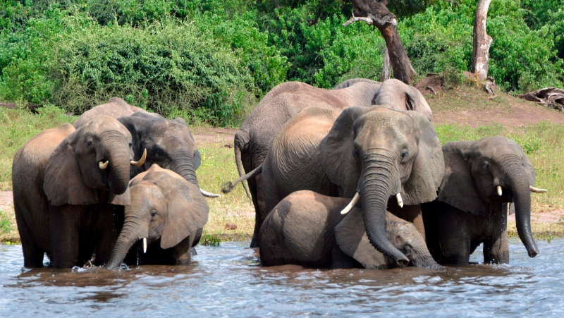 FILE - In this March 3, 2013 file photo elephants drink water in the Chobe National Park in Botswana. (AP Photo/Charmaine Noronha, File)