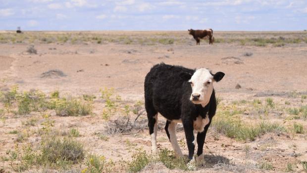 Cattle graze in the Shiprock, N.M.