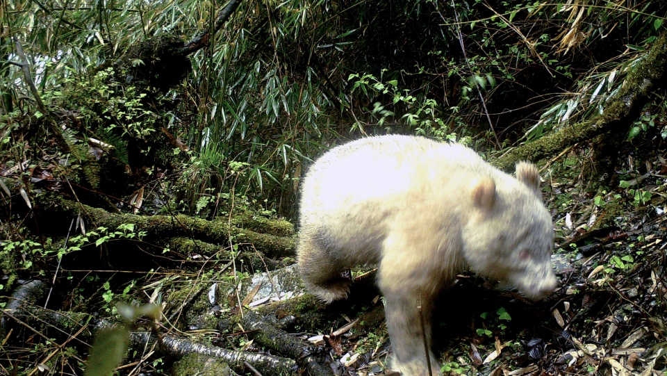 In this April 20, 2019, photo released by Wolong National Nature Reserve, an all white giant panda is captured by an infra-red triggered remote camera at the Wolong Nature Reserve in southwest China's Sichuan province. (Wolong National Nature Reserve via AP)
