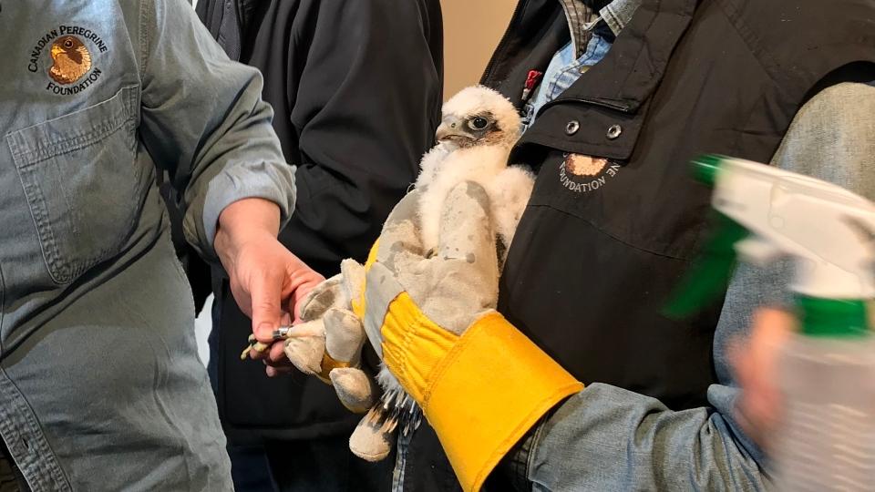 Kawhi the peregrine falcon