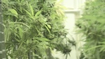 Inside Canada's future largest outdoor weed grow
