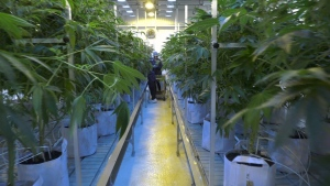 Harvard has teamed with Atlas Biotechnologies Inc. in a multi-million dollar research collaboration on the medicinal effects of cannabis. (CTV)