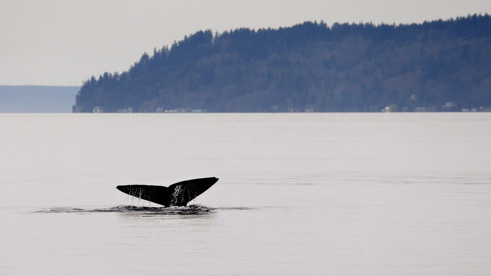 In this file photo, a grey whale shows its massive tail fluke while diving Friday, March 13, 2015, in Possession Sound, near Everett, Wash. (THE CANADIAN PRESS / AP-Elaine Thompson)
