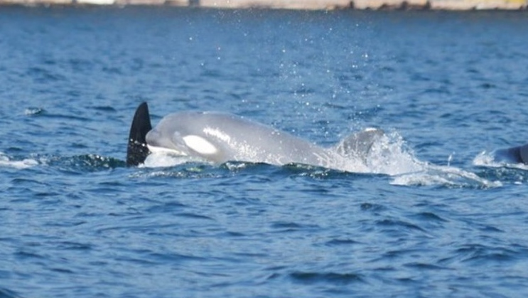 The extremely rare pale-grey calf was spotted Tuesday in Dodds Narrows. (Vancouver Island Whale Watch)
