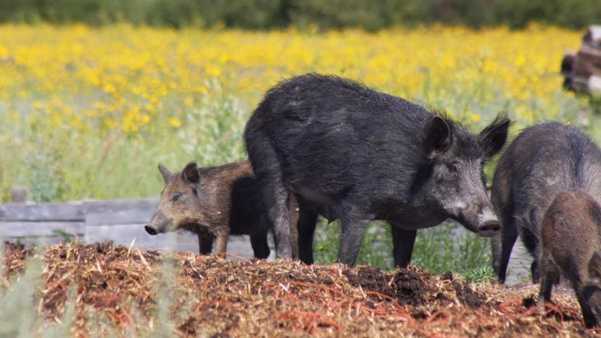 Wild pig populations are growing across Canada, according to a new report, and researchers say the swine boom could have major consequences. (Source: Canadian Wild Pig Research Project)