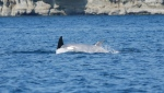 A  white orca spotted near Nanaimo. Source: Big Animal Encounter