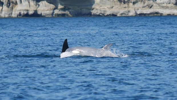 A  white orca spotted near Nanaimo. Source: Big Animal Encounter
