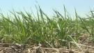 Crop producers desperate for rain