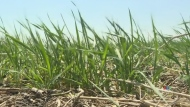 Crop producers desperate for rain