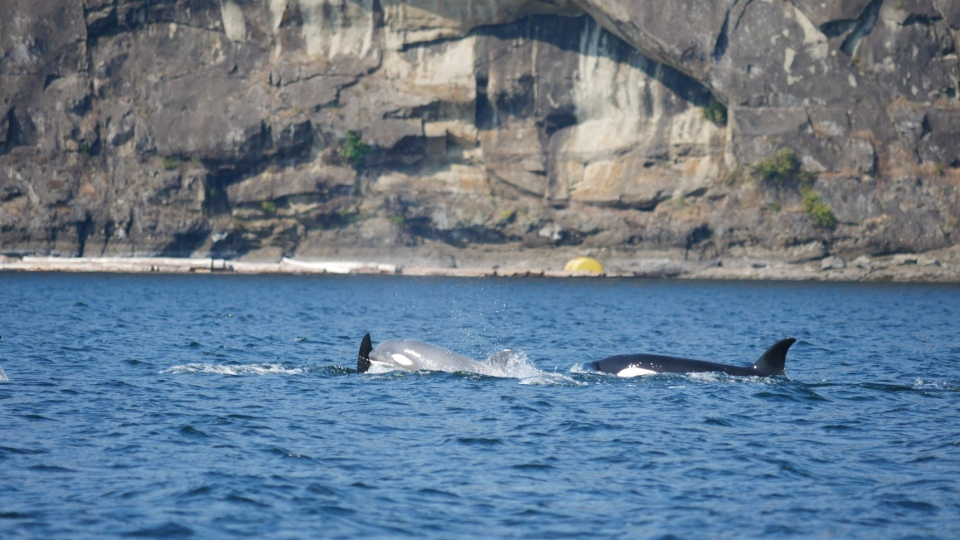 The young white killer whale was spotted off the coast of Nanaimo, B.C. (Vancouver Island Whale Watch)