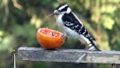 Hairy Woodpeckers like oranges too. Photo Nancy Mac Kay.