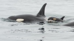 A newborn southern resident orca calf is seen swimming alongside its mother. (Source: DFO / John Forde and Jennifer Steven, Tofino Whale Centre)