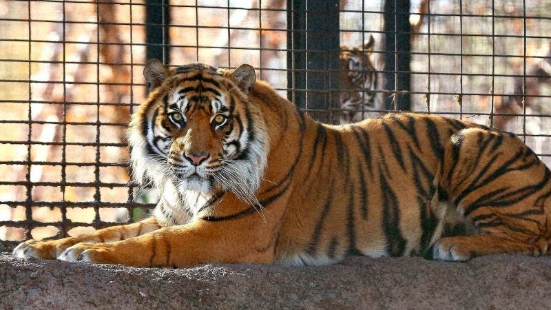 This is a file photo of a tiger.