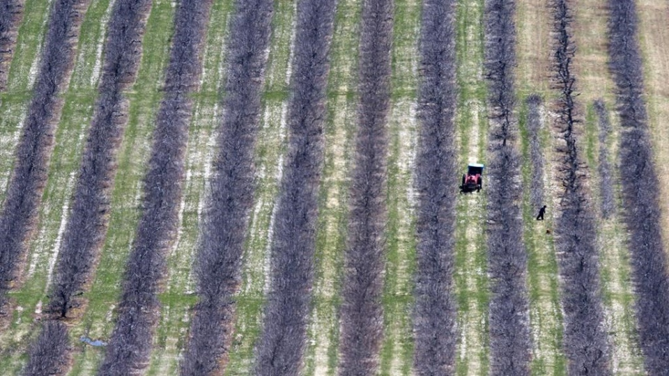 Workers prune fruit trees in Pereaux, N.S., on Friday, April 22, 2016. Some employers looking to hire temporary foreign workers are experiencing significant delays due to an increase in demand this year for migrant workers in Canada. THE CANADIAN PRESS/Andrew Vaughan