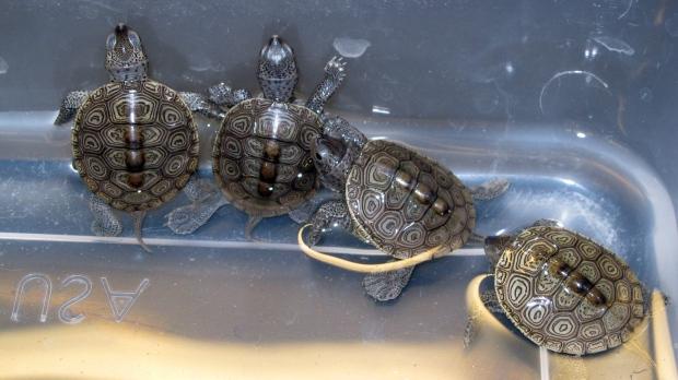 diamondback terrapin turtles