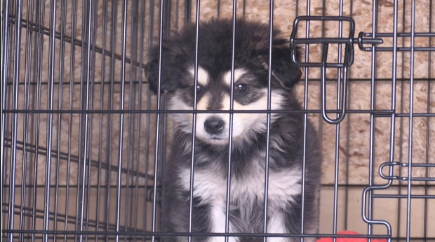 Puppy evacuated to North Bay from Pikangikum First Nation after wildfire (Brittany Bortolon/CTV Northern Ontario)