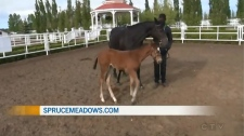 Spruce Meadows Summer Series