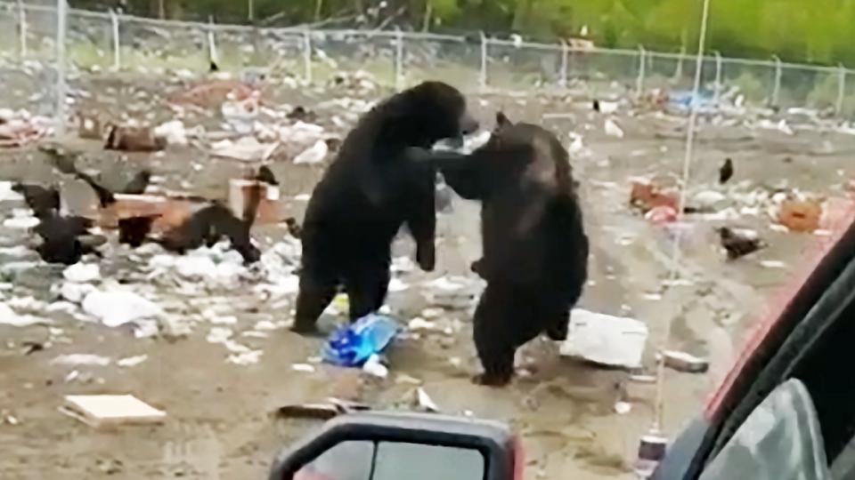Caught on cam: Bears brawl in N.W.T. garbage dump