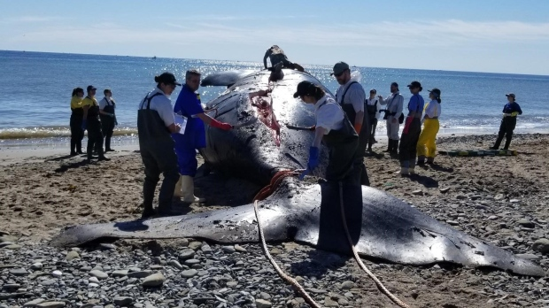 A dead right whale