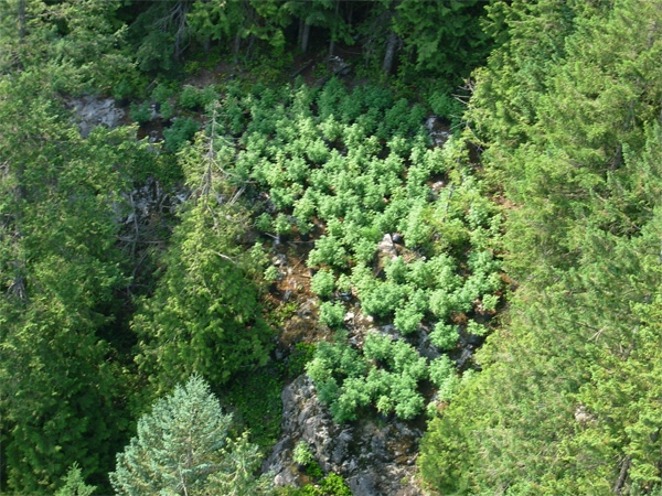 A grow op on Mount Seymour is visible from the air. August 12, 2009. (RCMP handout photo)